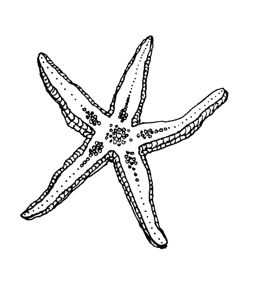 Seaberry-studio-drawing-starfish